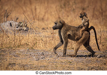 Monkey business - Baby baboon riding on their mothers back