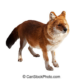 Dhole. Isolated over white - Dhole (Cuon alpinus). Isolated...