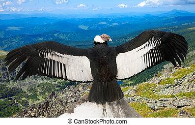 Andean condor in wildness area - Andean condor Vultur...