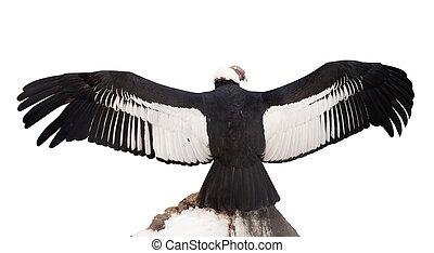 Andean condor. Isolated over white - Andean condor (Vultur...