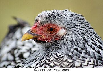 Mechelse koekoek (chicken)