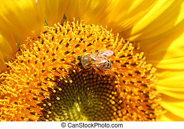 girassol, mel, abelha