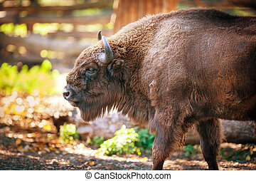 European bison in its environment
