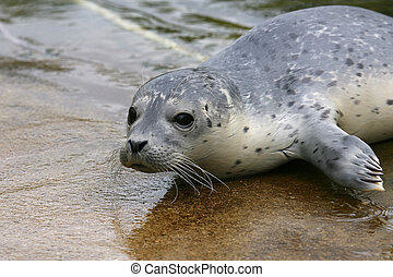 Baby spotted Seal (Phoca largha) - Baby spotted Seal (Phoca...