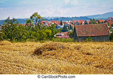 wheat harvest with panormaic view
