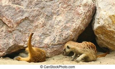 Meerkats - Meerkats playing in the sand