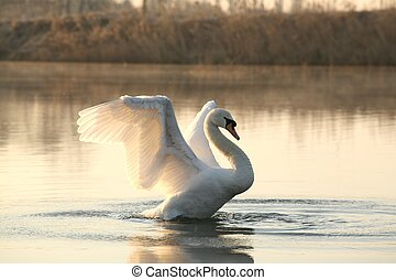 Swan on a lake - Swan spreads its wings on a sunny morning