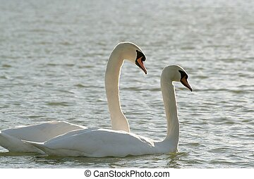 Pair of swans at dawn - Romantic swans on the lake in the...