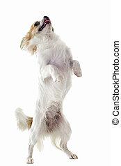 chihuahua upright - portrait of a cute purebred chihuahua...