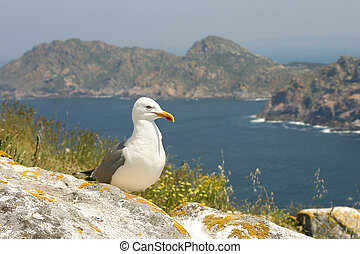 Seagull on Cies Islands - Cies Islands remain an important...