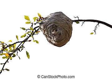 Bee Nest - Bee nest beehive on cherry branch isolated on...