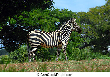 Wary Zebra - Zebra stands resting on his feet. He is ready...