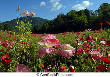 Carolina Poppies - Field of red and pink poppies bloom in...