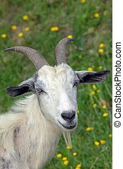 Billy Goat with Horns - White goat with long horns stands in...