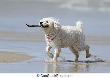 Small White Dog Carrying a Stick on - Small White Cockapoo...