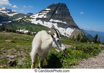 Glacier Park - Mountain goat in Glacier National Park,...