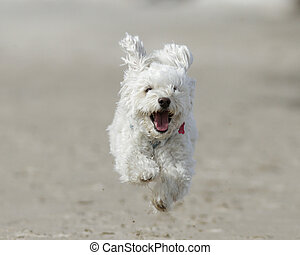 Small White Dog Running on Beach - Small White Cockapoo is...