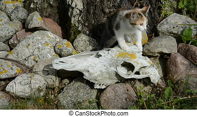 kitten on old horse skull - small kitten on old horse skull