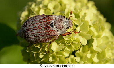 chafer beetle on viburnum blossom - spring chafer beetle on...