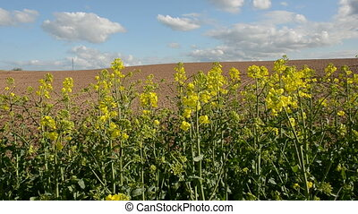 spring rapes blossoms in farm field - spring rapes yellow...