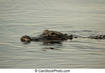 American Alligator - American alligator in the Florida...