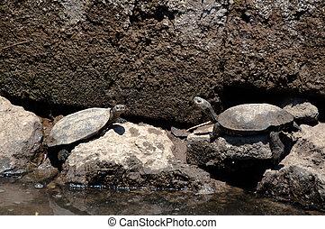 europejczyk, Staw, Terrapin, żółwie