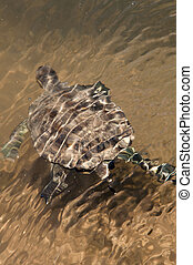 żółw, Staw, europejczyk,  terrapin