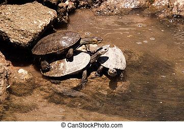 Staw, europejczyk, żółwie,  terrapin
