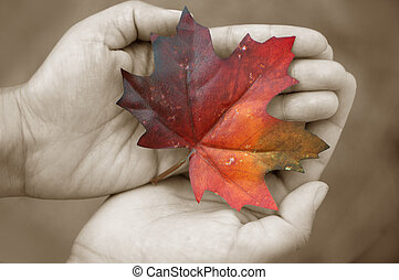 Autumn leaf - Hands in black and white holding a red maple...