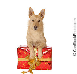 Dog with a Christmas gift - Alert golden dog lying with its...