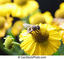 working bee - bee collecting pollen on flower