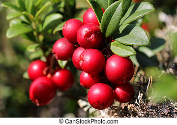 Cowberries (Vaccinium vitis-idaea) - Red Cowberries or...