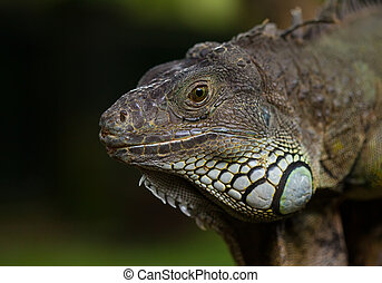 big iguana against the tropical jungle