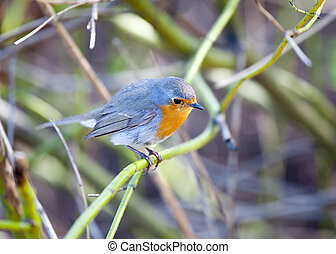 Songbird robin sitting on a branch in the forest
