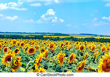 Field with blooming sunflowers, summer landscape