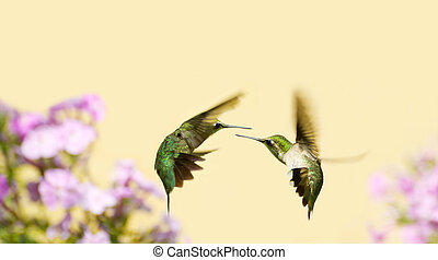 Hummingbirds fighting - Colorful close up image of a female...