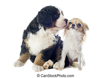 puppy bernese moutain dog and chihuahua - portrait of a...