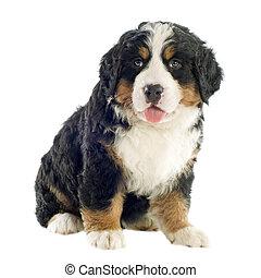 puppy bernese moutain dog - portrait of a purebred bernese...