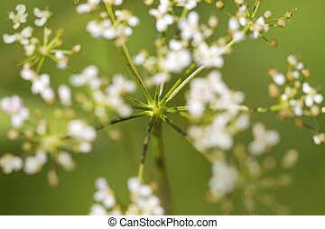 Cow parsley - Close-up of a Cow parsley, with shallow focus