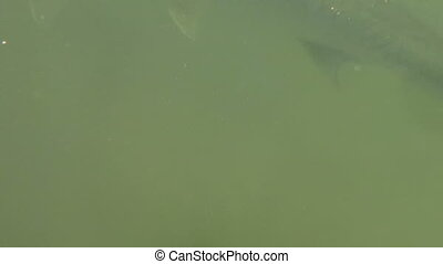Huge Tarpon Underwater