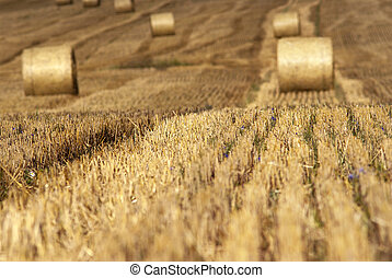 Hay field - Field with cut hay Focus on cut grass with bales...