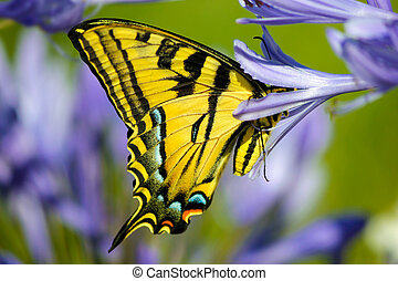 Yellow Tiger Swallowtail butterfly - A yellow Tiger...