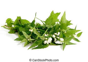 Stinging Nettle - Fresh stinging nettle leafs on bright...