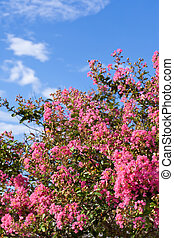 Crape myrtle flower and the blue sky - This is a picture of...