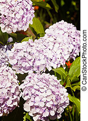 Hortensia - Deciduous shrub bearing roundheaded flower...
