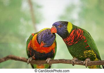 two lorikeet lovebirds - blue orange and green birds on a...