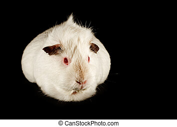 guinea pig family pet - The guinea pig a common and cute...