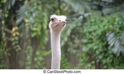 ostrich - an ostrich falling asleep while standing