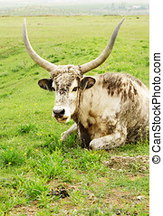 Long horned cow - Long horned hungarian cow grazing at...