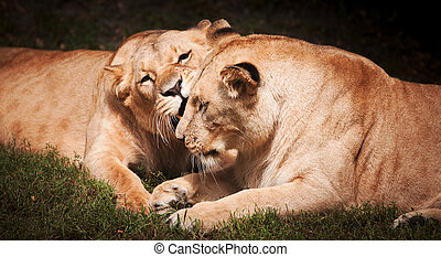Close-up of Lionesses on the grass